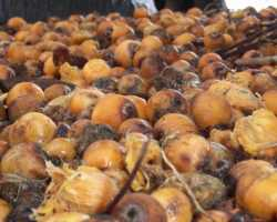 Nile Palm fruits