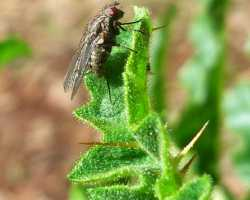 Fly on a spiky leaf
